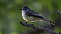 Northern Scrub Flycatcher (Sublegatus arenaruum)