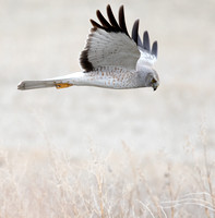 Northern harrier (Circus cyaneus) Male