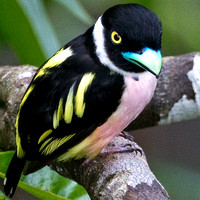 Black-and-yellow Broadbill- Eurylaimus ochromalus