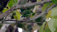 Greater Green Leafbird (Chloropsis sonnerati) female