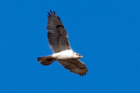 Ferruginous Hawk- Buteo regalis