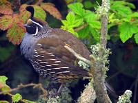 California Quail (Callipepla californica) male; also known as California Valley Quail, Valley Quail