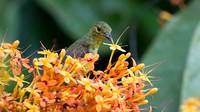 Brown-throated Sunbird- Anthreptes malacensis