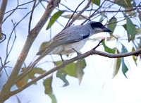 Black-faced cuckooshrike (Coracina novaehollandiae)