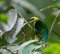 Blue-winged leafbird (Chloropsis cochinchinensis) Male