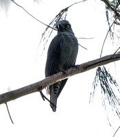 Bar-bellied cuckooshrike (Coracina striata)