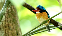 Bornean Banded Kingfisher (Lacedo melanops) Male