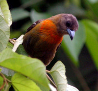 Cherrie's Tanager (Ramphocelus costaricensis) female