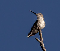 Black-chinned hummingbird (Archilochus alexandri) Female