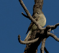 Hammond's flycatcher (Empidonax hammondii)