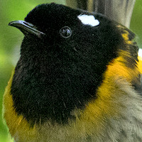 Stitchbird or hihi (Notiomystis cincta) Male