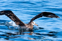 Black-footed Albatross (Phoebastria nigripes)