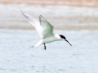 New Zealand fairy tern (Sternula nereis davisae)