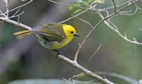Yellowhead or mōhua (Mohoua ochrocephala)