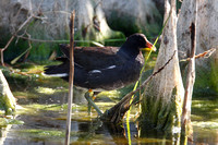 Common Moorhen (Gallinula chloropus) also known as Common Gallinule