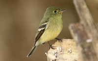 Yellow-bellied Flycatcher (Empidonax flaviventris)