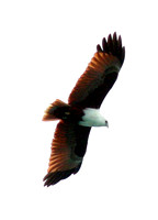 Brahminy Kite (Haliastur indus) also known as Red-backed Sea-eagle