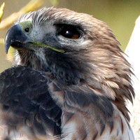 Red-tailed Hawk- Buteo jamaicensis