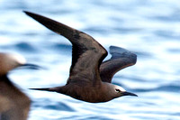 Brown Noddy (Anous stolidus) also known as Common Noddy