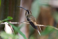 Stripe-throated Hermit- Phaethornis striigularis