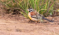 Golden-breasted bunting (Emberiza flaviventris)