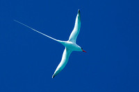 Red-billed Tropicbird (Phaethon aethereus)