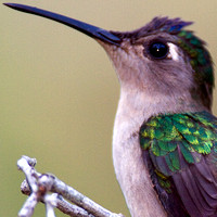 Wedge-tailed Sabrewing (Campylopterus curvipennis)