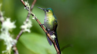 Long-tailed Sylph (Aglaiocercus kingi)