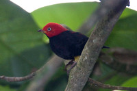 Red-capped Manakin (Pipra mentalis) male
