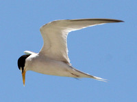 Least Tern (Sternula antillarum)