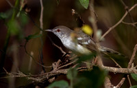 Bar-winged prinia (Prinia familiaris) ?