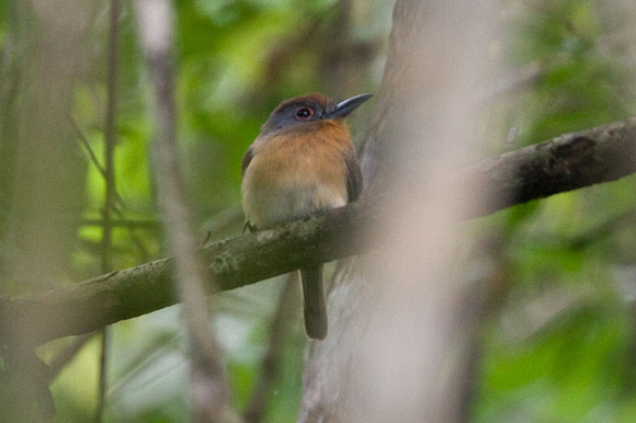 Grey-cheeked Nunlet (Nonnula frontalis)