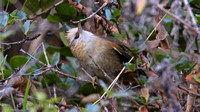 Creamy-crested Spinetail (Cranioleuca albicapilla)