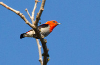 Scarlet-headed flowerpecker (Dicaeum trochileum)