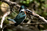 Amazon Kingfisher (Chloroceryle amazona) male