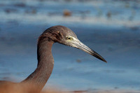 Little Blue Heron- Egretta caerulea