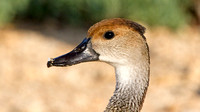 West Indian Whistling Duck (Dendrocygna arborea) also known as Black-billed Whistling Duck, Cuban Whistling Duck