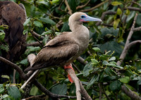 Red-footed Booby (Sula sula) Brown morph