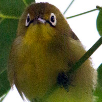 Lemon-bellied white-eye (Zosterops chloris)