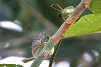 Paltry Tyrannulet (Zimmerius vilissimus) also known as Mistletoe Tyrannulet