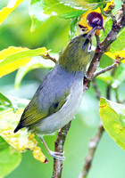 Silvereye (Zosterops lateralis) also known as Wax-eye