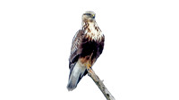 Rough-legged Hawk- Buteo lagopus