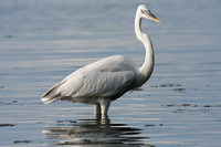 Great Egret (Ardea alba) also known as Great White Egret and Common Egret