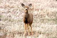 White-tailed Deer (Odocoileus virginianus) also known as Virginia Deer or Whitetail