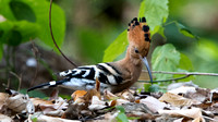 Common Hoopoe (Upupa epops)