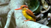 Rufous-backed kingfisher (Ceyx rufidorsa)