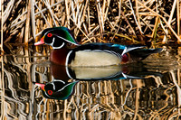 Wood Duck (Aix sponsa) male; also known as Carolina Duck