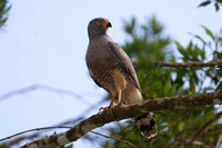 Roadside Hawk (Buteo magnirostris)