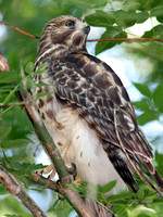 Broad-winged Hawk (Buteo platypterus) Immature