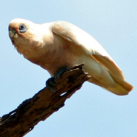Little Corella (Cacatua sanguinea) also known as Bare-eyed Cockatoo